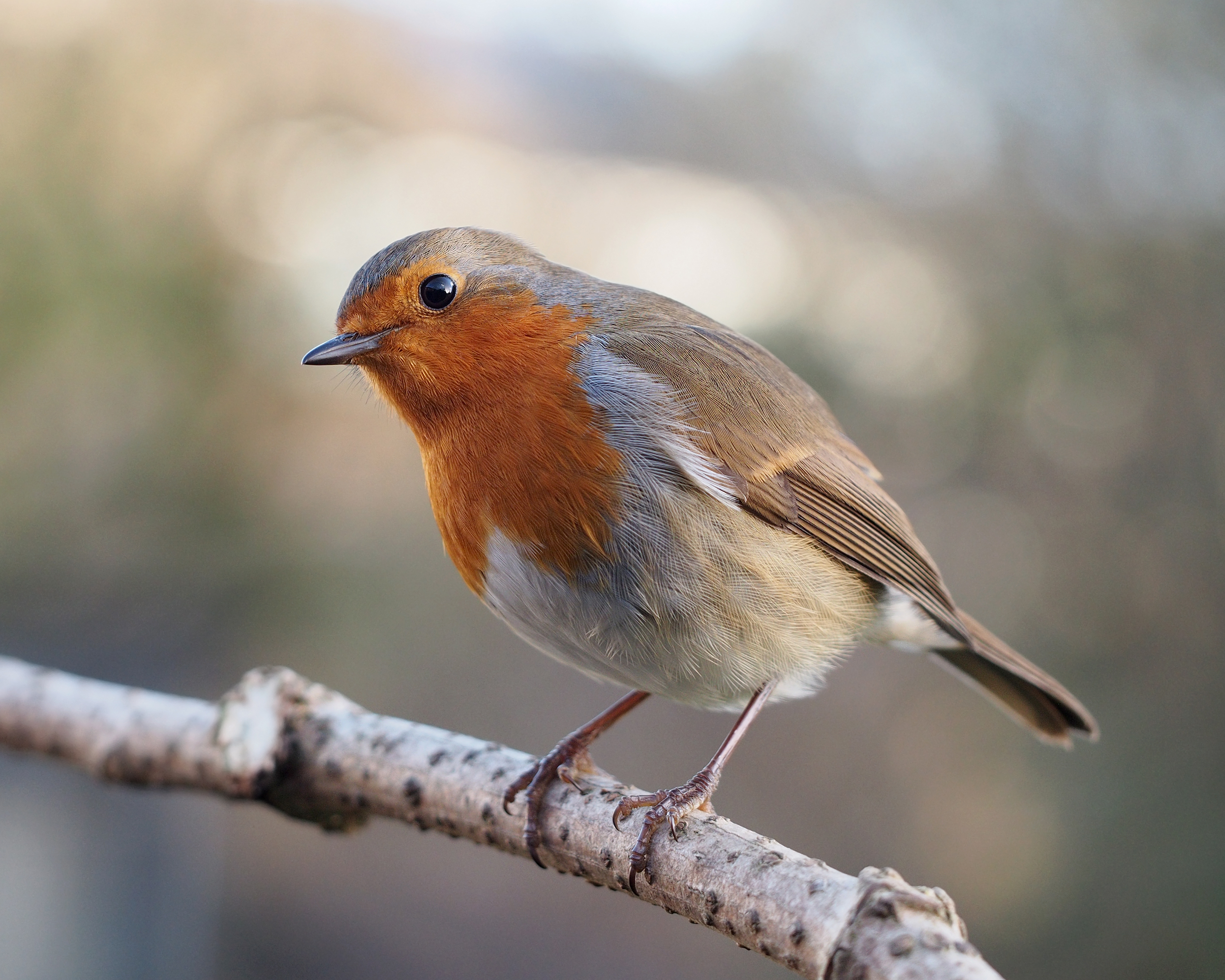 Are Robins A Sign Of Angels Or Spirits Immanuel Lutheran Church